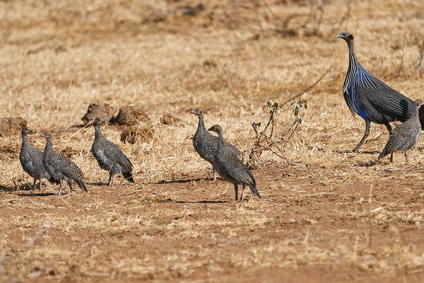 Vulturine Guinea Fowl Loisaba Kenya 2018