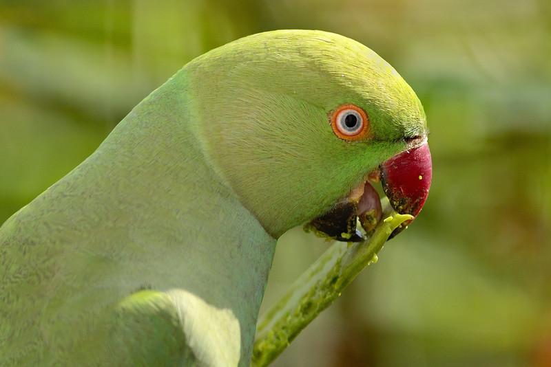 Parakeet-tasty-slurp.jpg