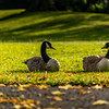 Canadian Geese looking at each other Sandall Park , Doncaster, South Yorkshire