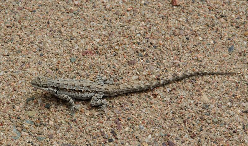 Lizard 2874.jpg