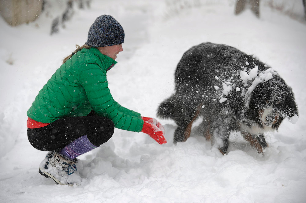 . Rigley, a Bernese Mountain dog, gets a face full of snow from his owner, Caroline Verlander, as the two played in the snow on Ogden St in Denver  on Sunday, February, 24, 2013. Seth A. McConnell, The Denver Post