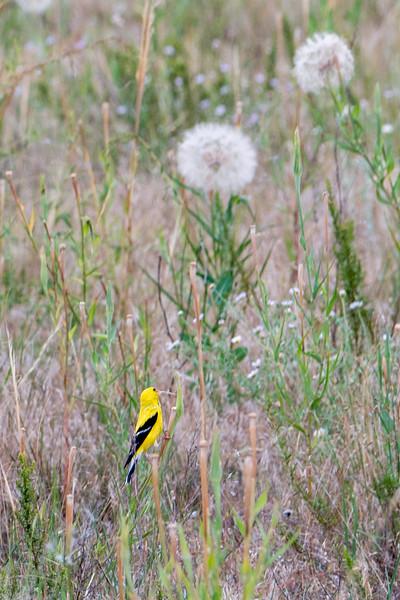 Hysham, MT Bird