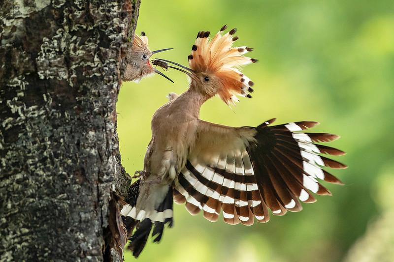 Wiedehopf füttert Jungvogel