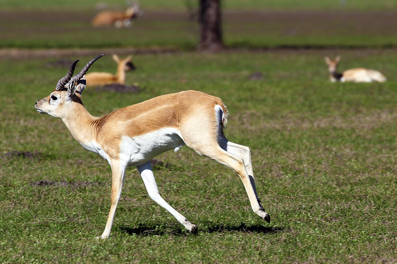 Just east of Engle, TX, we find a field of Gazelles.