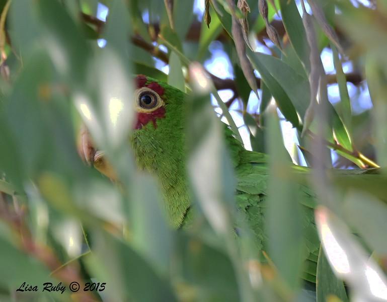 Mitred Parakeet - 5/10/2015 - Point Loma Nazarene University