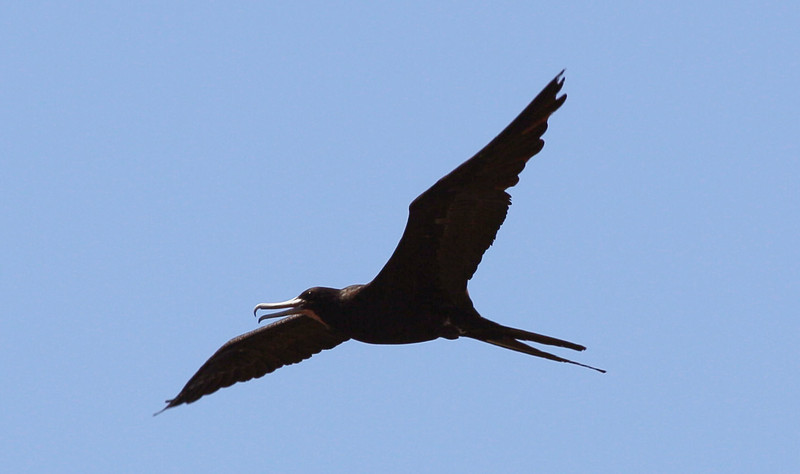 A magnificent Frigate Bird flies overhead.