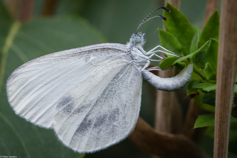 Wood White Laying Eggs.CR2