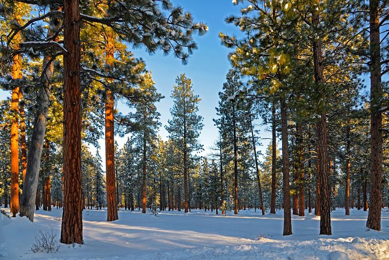 Ponderosas in the sun + snow_KateThomasKeown_KTK4769 copy.jpg