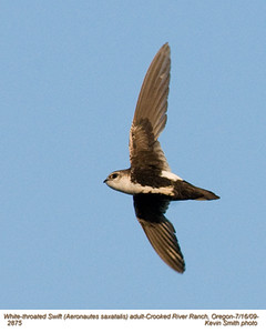 WhiteThroatedSwiftA2875.jpg