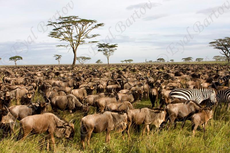 IMG_5802 Wildebeest.jpg