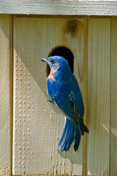 Bluebird - Eastern - male - Bovey, MN