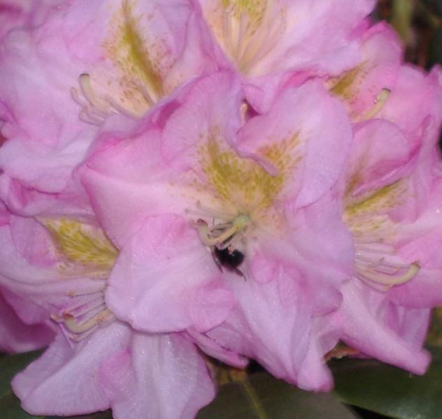 pink bumble.JPG