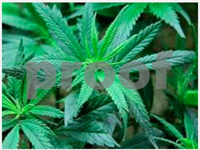 7000-marijuana-plants-found-in-upshur-county