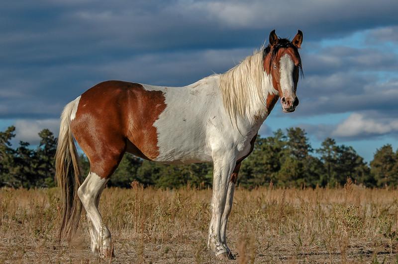 Blue-Eyed Wild Paint Horse #2