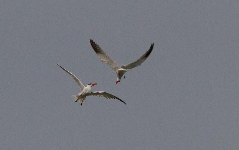 Caspian Tern  Batiquitos Lagoon 2012 02 27 (2 of 2).CR2