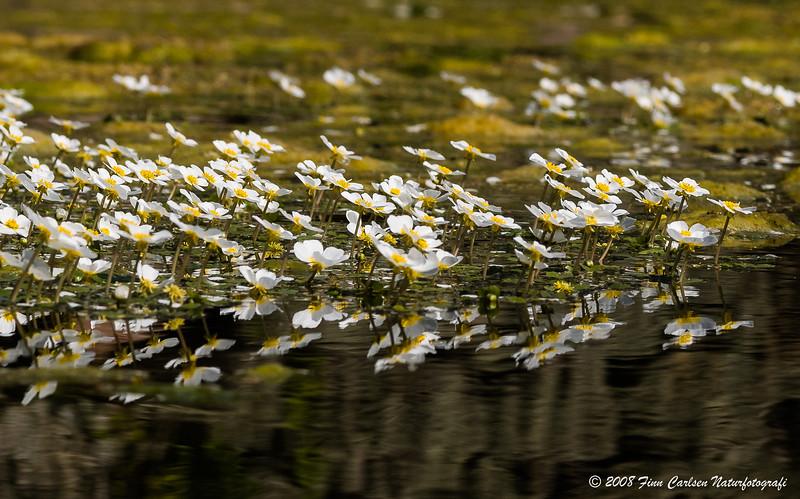 Storblomstret vandranunkel - Ranunculus peltatus - Pond Water-crowfoot