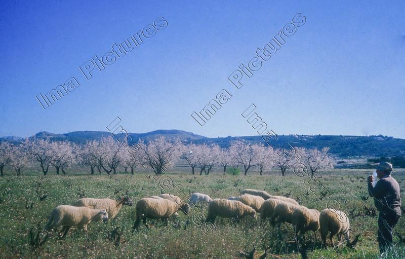 Sheep schapen moutons