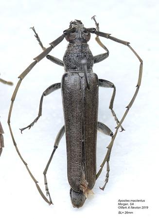 Aposites macilentus (Cerambycinae)