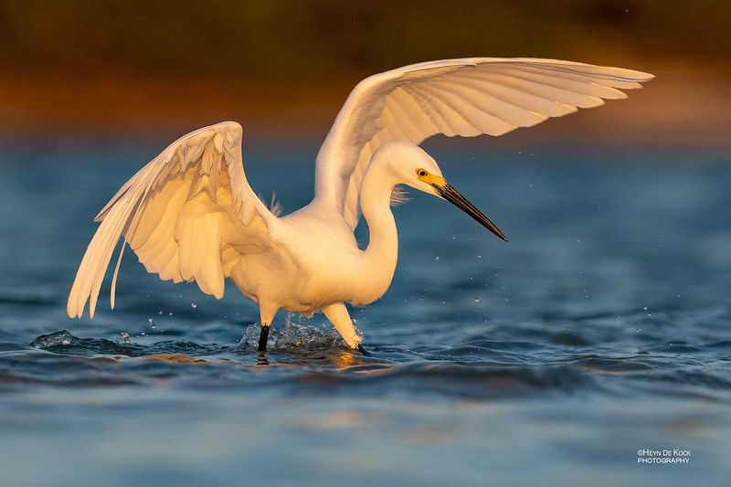 Snowy Egret, Fort De Soto, St Petersburg, FL, USA, May 2018-3.jpg