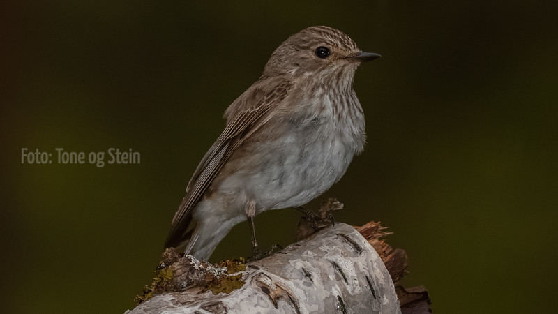 GRÅFLUESNAPPER, Spotted flycatcher, Norway