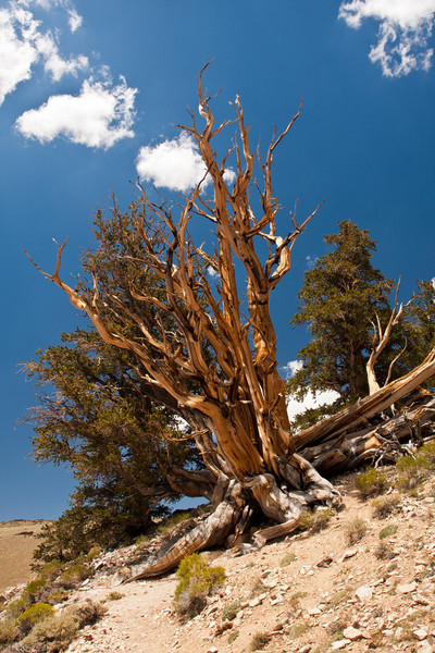 Ancient Bristle Cone Pine Forest - White Mountains California