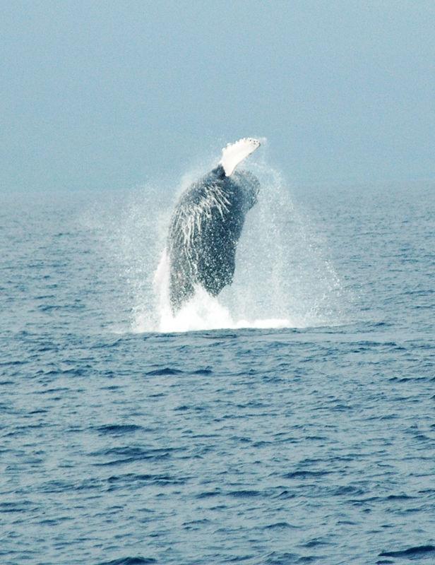 whale breach2.JPG