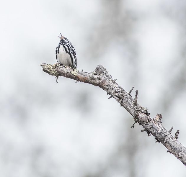 Black-and-white Warbler Wednesday Sax-Zim Bog MN DSC07166.jpg
