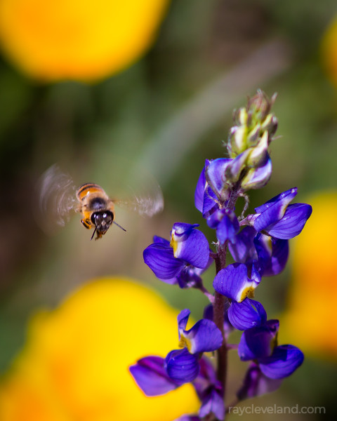 Bee and Lupine