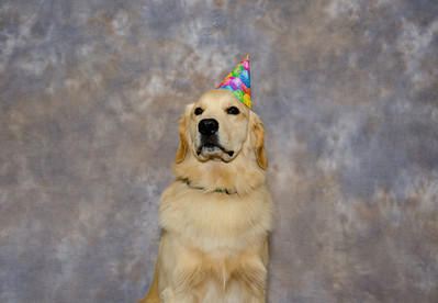 Golden Retrievers One Year Old