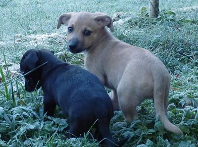 Daschund Puppies - YVPR/PAWS Jan 2013