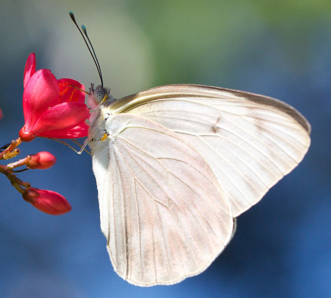 great southern white butterfly on jatropha blossom
