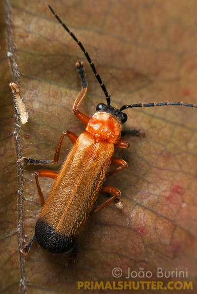 Dorsal view of a soldier beetle (Cantharidae) in Intervales State Park, Brazil. South-east atlantic forest reserve, UNESCO World Heritage Site.