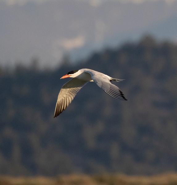 Caspian Tern Warm Lake near Crowley Lake 2021 06 21-3.CR3