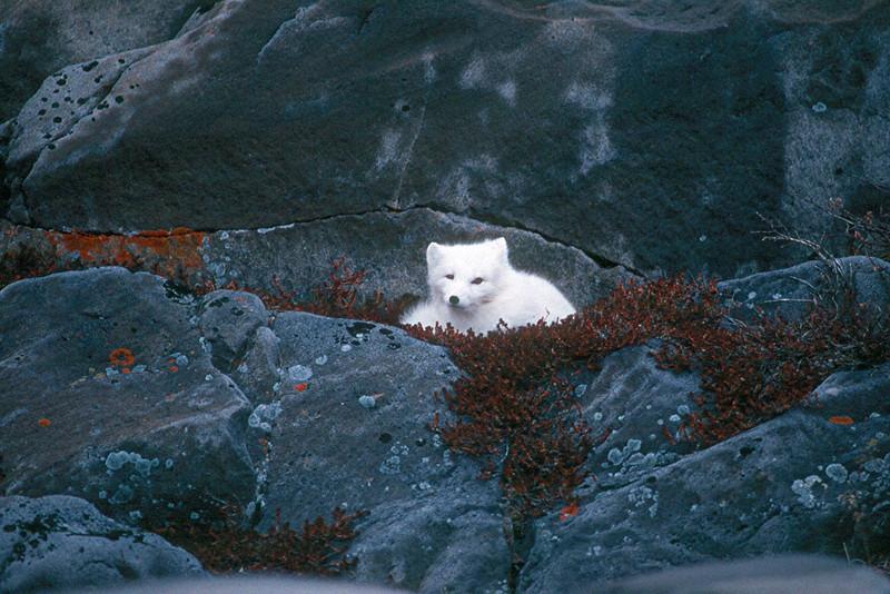Arctic Fox - Canada