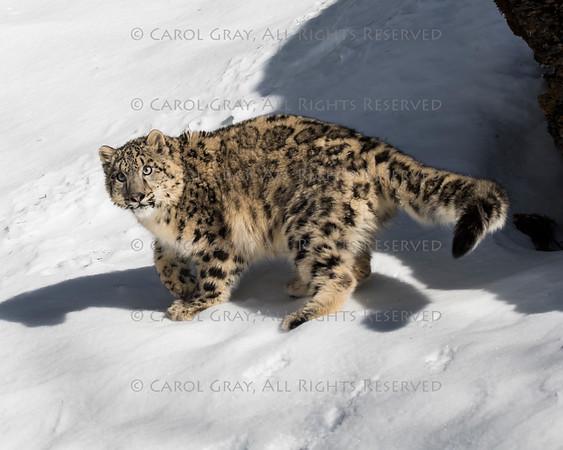 Snow Leopard Cub Gallery