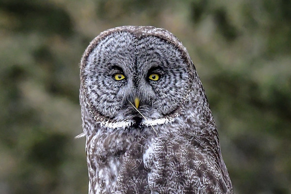 4-10-19 Great Gray Owl - Hunting