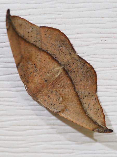 Arched Hooktip Moth (6251: Drepana arcuata)