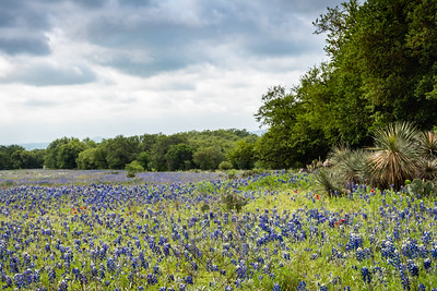 Field of bluebonnets lined with trees and cacti