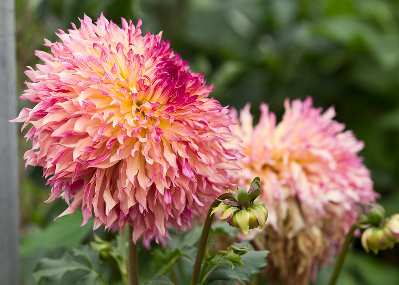 Cool Dahlias