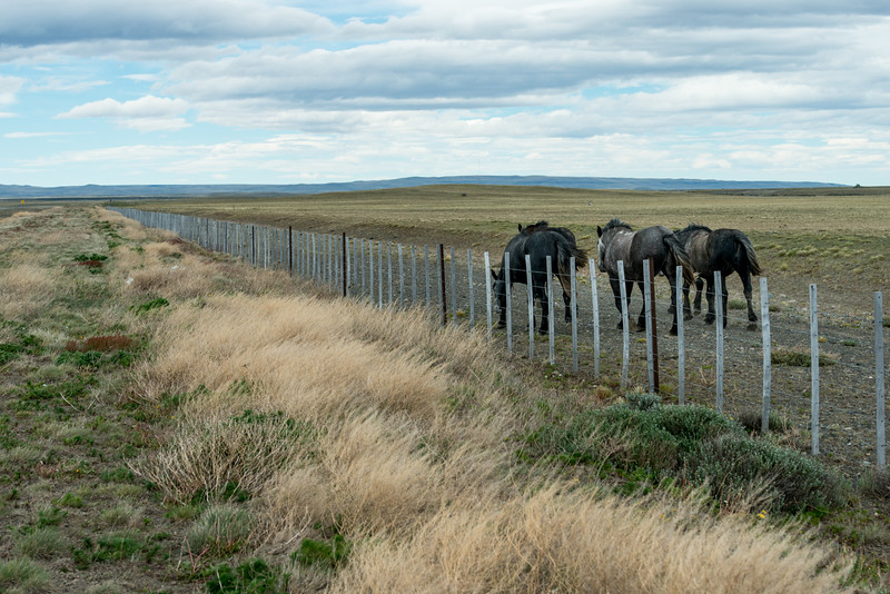 Three horses grazing in field with fence, Santa Cruz Province, Patagonia, Argentina