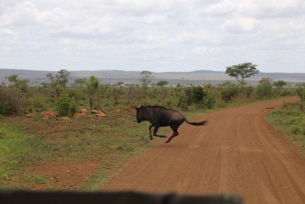 Capturing a wildebeest in mid-gallop