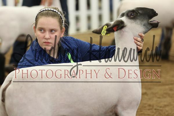 Ringshots - Class 11-13 and Champion Ewe