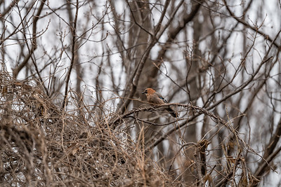 Eurasian Jay [Garrulus glandarius]