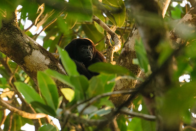Howler monkey in the morning sun.