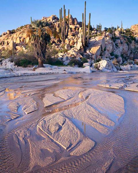 Desierto Central, Baja, MEX/California. Blue palm (Brahea armata) & cardon cactus (Pachycereus pringlei) line flowing desert wash. 393v4