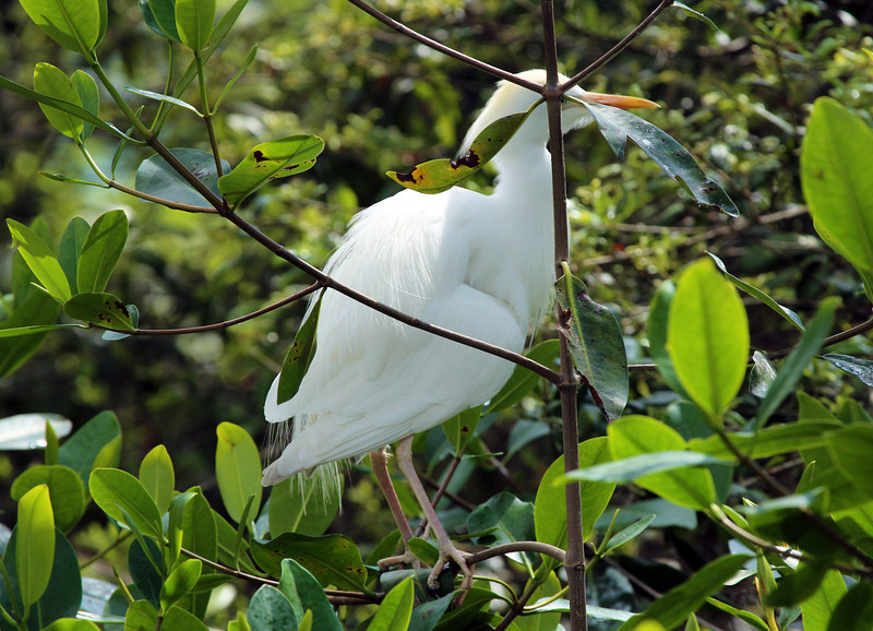 Cattle Egret in a tree.