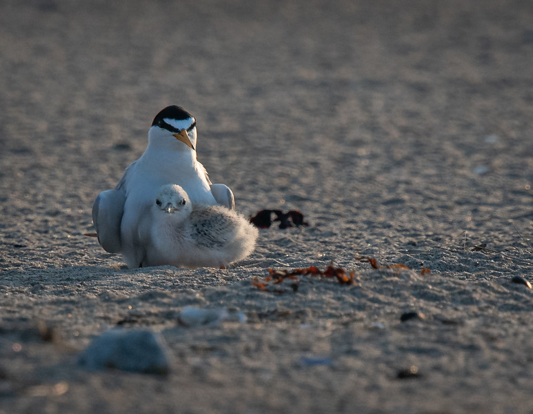 Least Tern mom + 1 pose