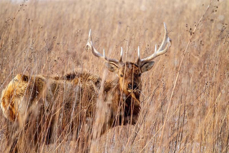 Elk bull Neal Smith National Wildlife Refuge NWR Prairie City IA  IMG_2248.jpg