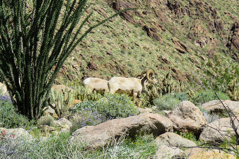 Big Horn Sheep in Palm Canyon