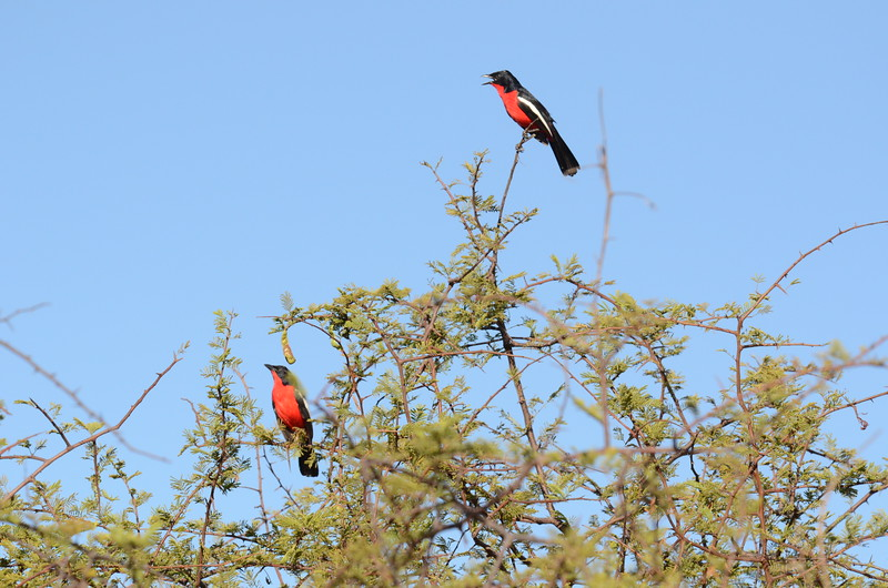 56 Crimson-breasted Shrike - Chitabe - Anne Davis